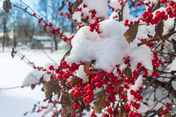Snow-covered winterberry holly bush stock photo