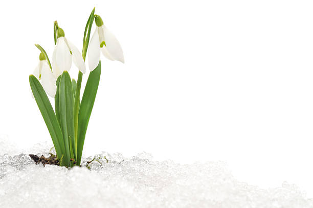 snowdrop and snow - snowdrops stock photos and pictures