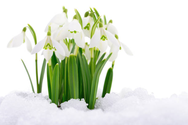 snowdrop and snow. - snowdrops stock photos and pictures