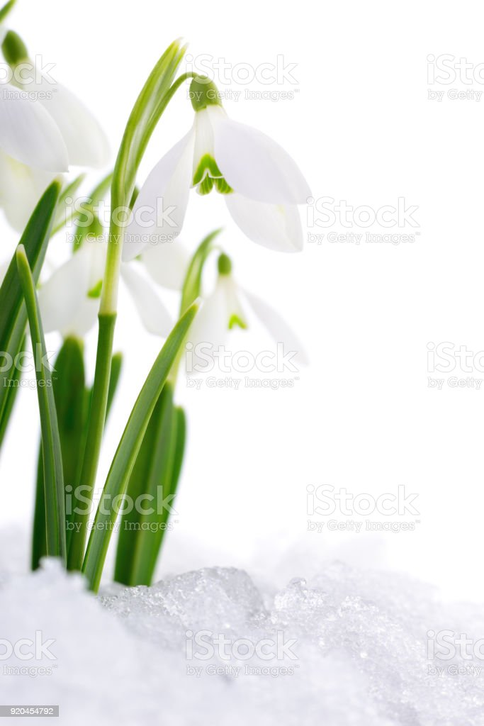 Snowdrop and Snow. stock photo