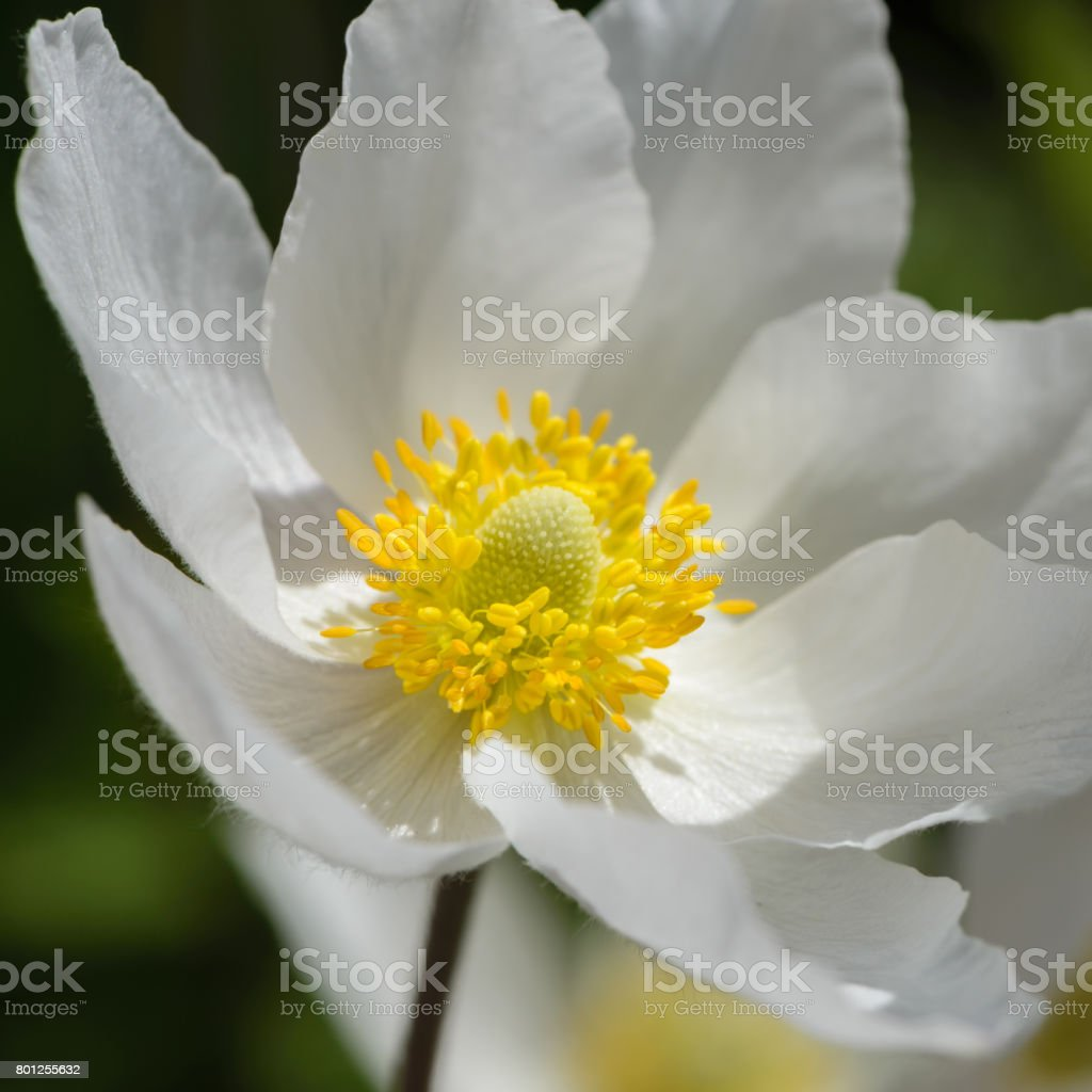 Snowdrop Anemone Blossom Large White Flower With Yellow Stamen Stock