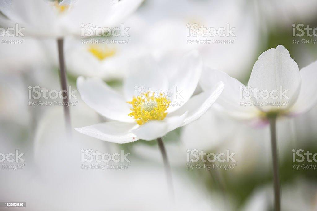 Snowdrop Anemone (Anemone sylvestris) in Spring season with black background stock photo