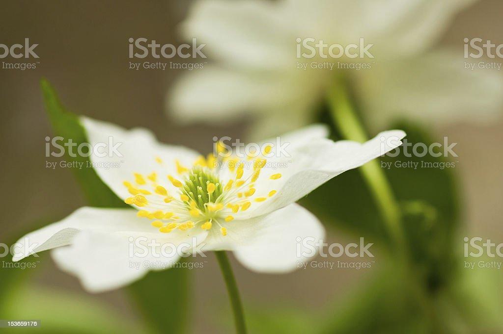 Snowdrop anemone stock photo
