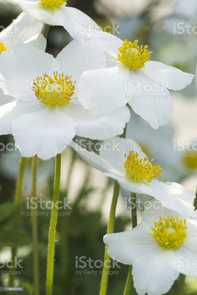 Snowdrop Anemone (Anemone sylvestris) - XII royalty-free stock photo