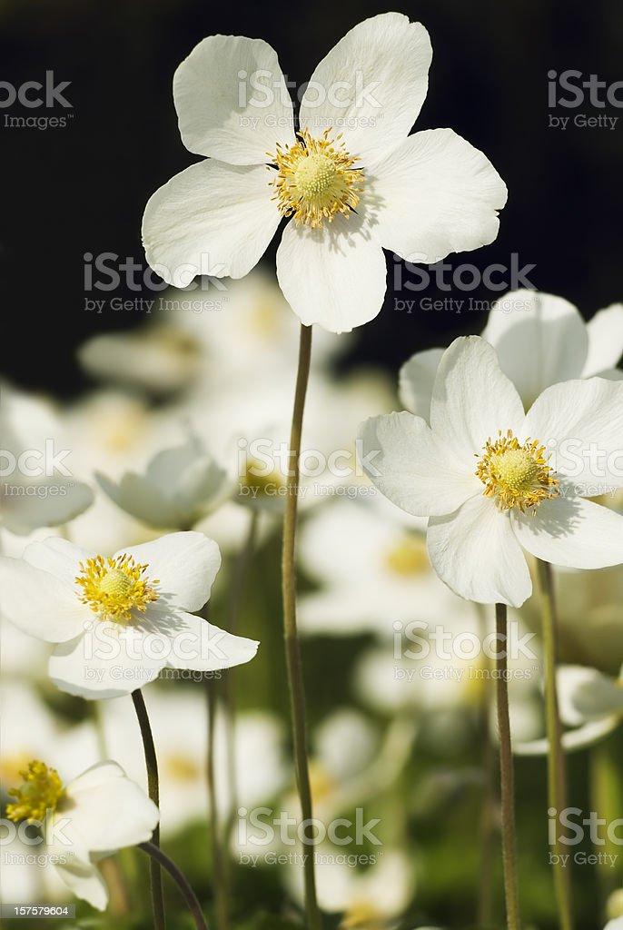 Snowdrop Anemone (Anemone sylvestris) - XVII stock photo