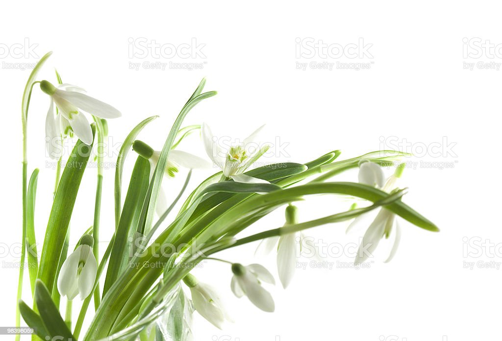 Snowdrop bouquet royalty-free stock photo