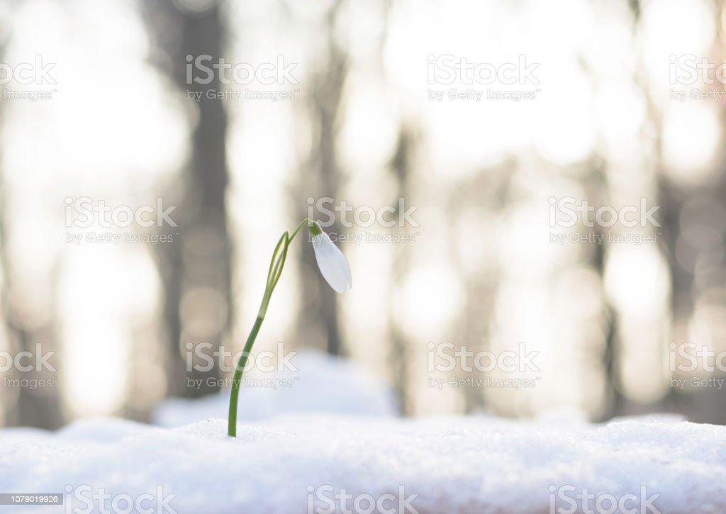 Schneeglöckchen Blume wächst aus dem Schnee warten auf Frühling – Foto