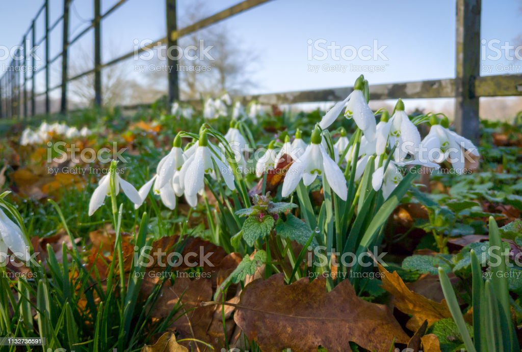 Snowdrop flowers at sring with a fence stock photo