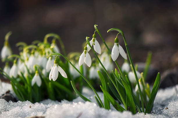 Snowdrop flowers blooming in winter​​​ foto