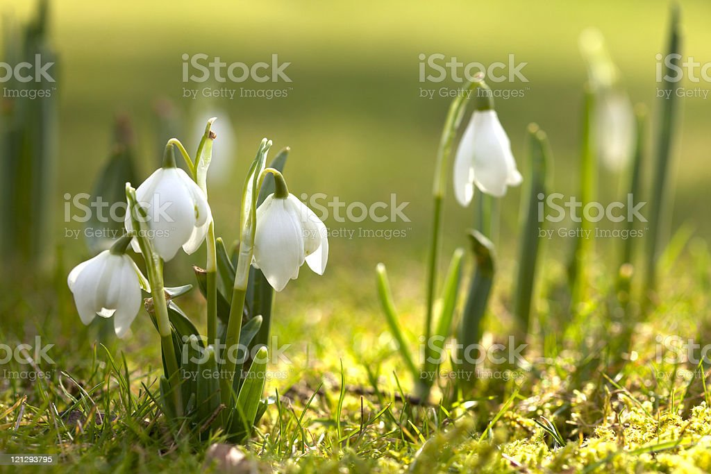 snowdrop flowers in morning, soft focus, perfect for postcard stock photo