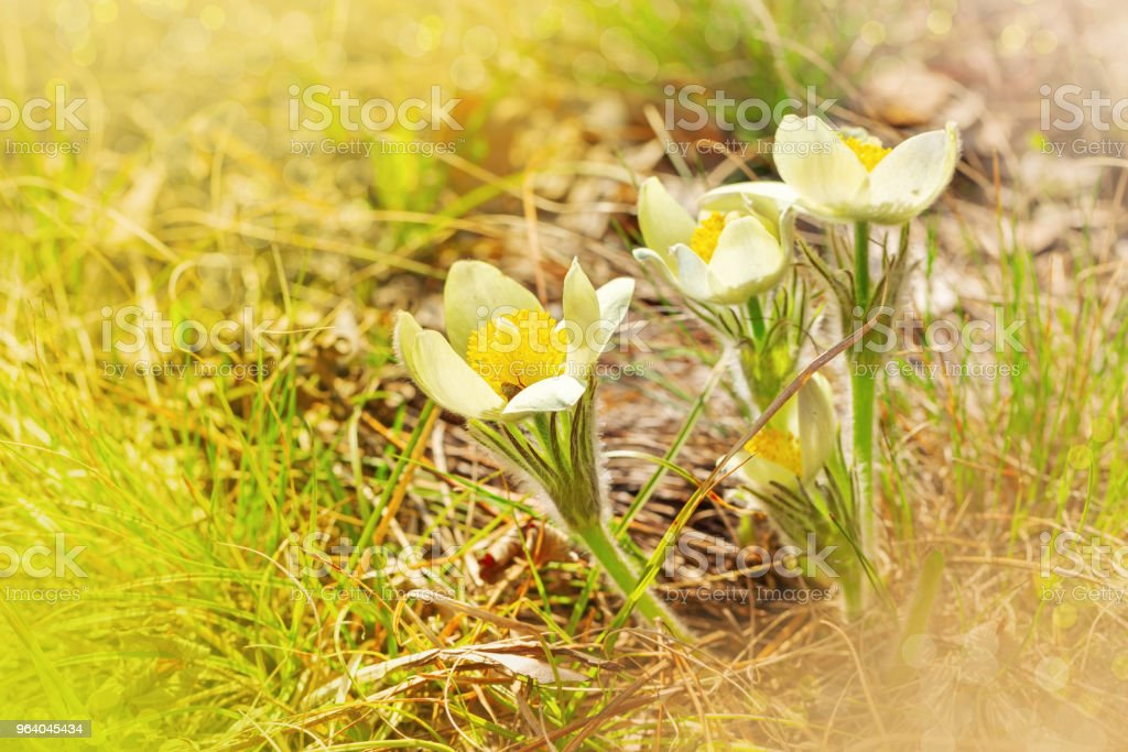 Snowdrop flowers in nature - Royalty-free Beauty Stock Photo