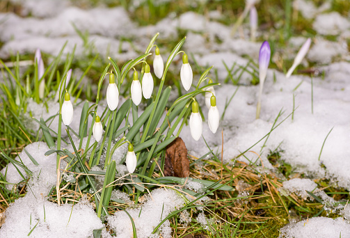 Snowdrop Flowers In The Snow Stock Photo - Download Image Now