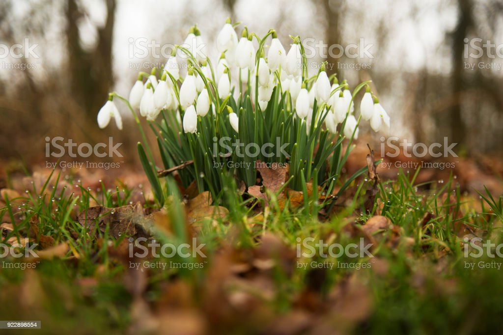 Snowdrop flowers in woodland stock photo