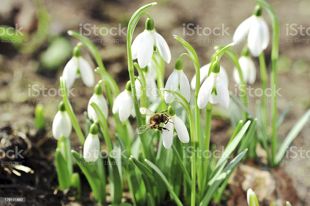 snowdrop flowers royalty-free stock photo