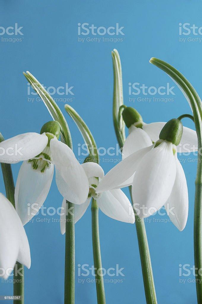Snowdrop flowers royalty-free stock photo