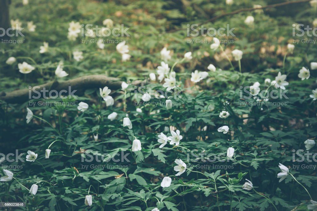 snowdrop galanthus flowers on forest ground background – Foto