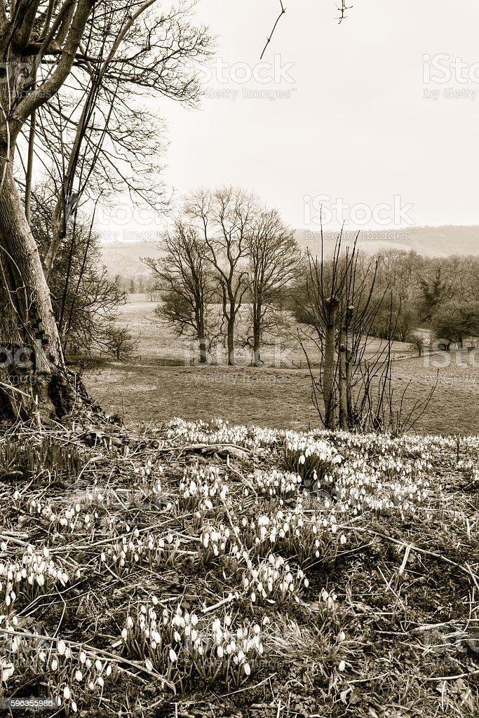 Snowdrop Galanthus Nivalis A royalty-free stock photo
