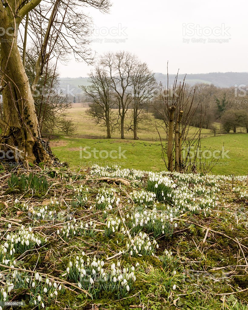 Snowdrop Galanthus Nivalis on the hill royalty-free stock photo