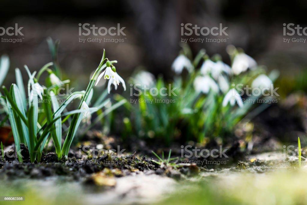 Snowdrop in garden stock photo