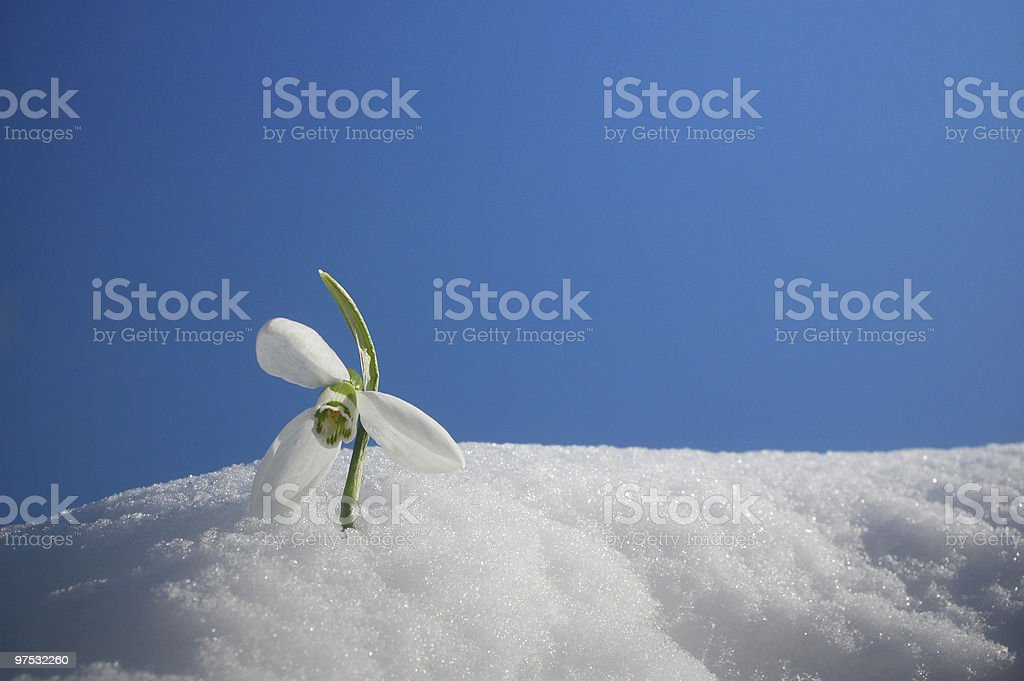 snowdrop in snow royalty-free stock photo