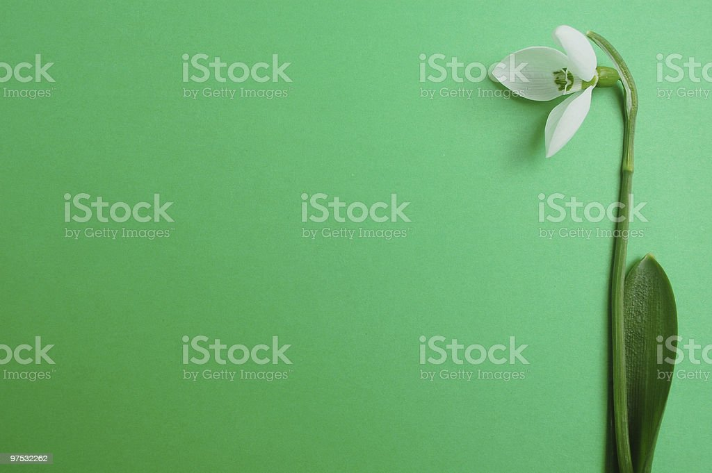 Snowdrop on green royalty-free stock photo