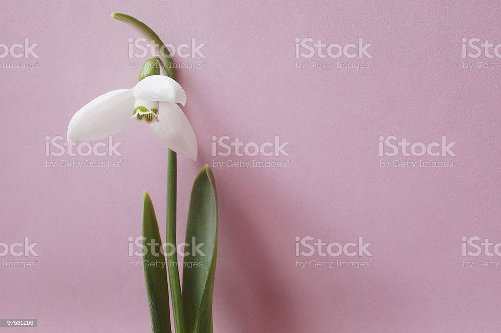 Snowdrop on pink royalty-free stock photo
