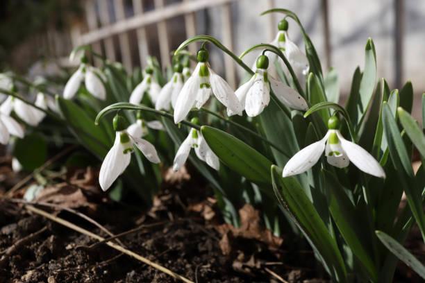 Snowdrop or common snowdrop (Galanthus nivalis) flowers stock photo