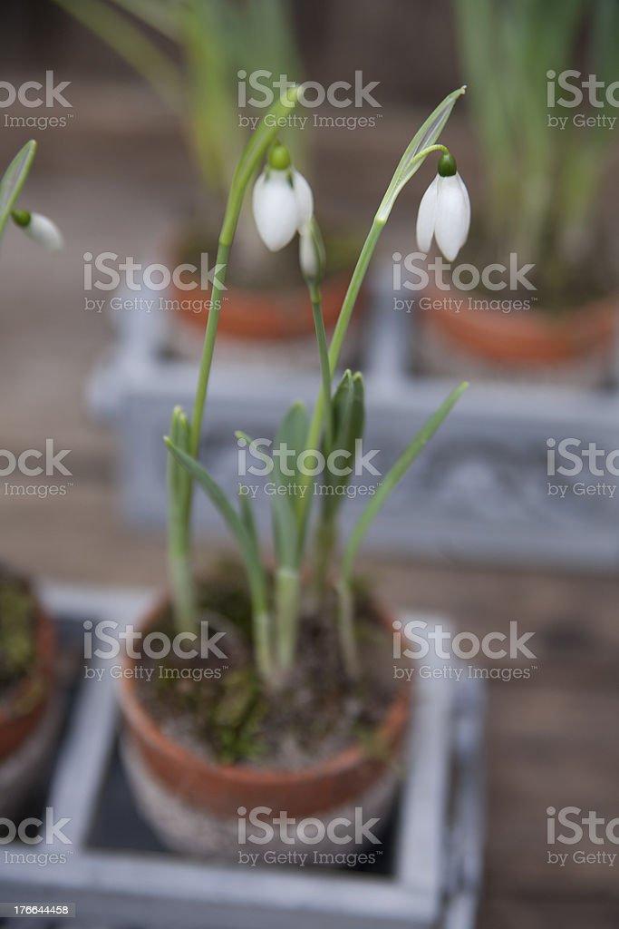 Schneeglöckchen stock photo