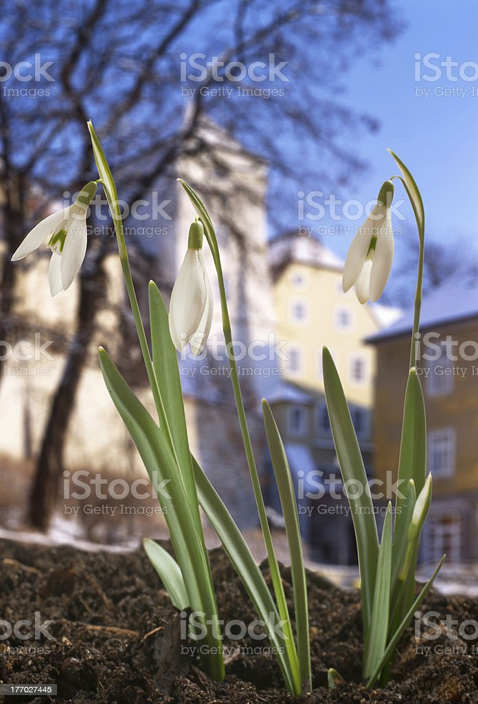 snowdrop royalty-free stock photo