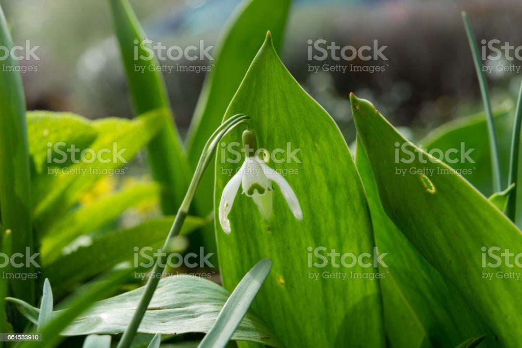 Snowdrop royalty-free stock photo
