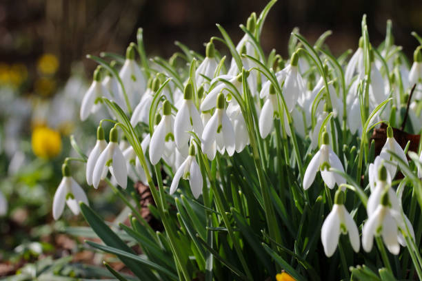 snowdrop - snowdrops stock photos and pictures