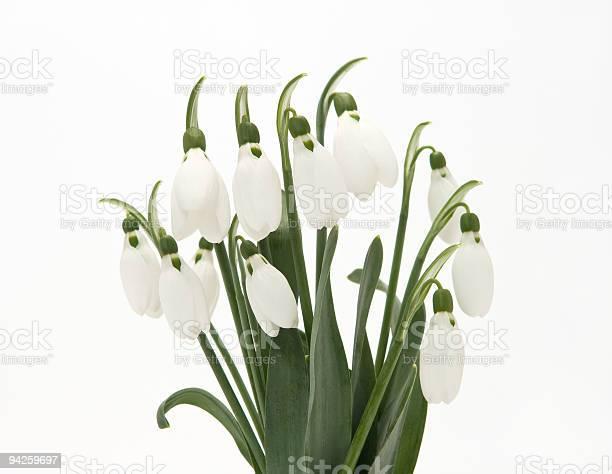 Snowdrop picture id94259697?b=1&k=6&m=94259697&s=612x612&h=6q1pnfe3snd0tjmln81 ugv36gqlp6wi8bqxxuho1la=