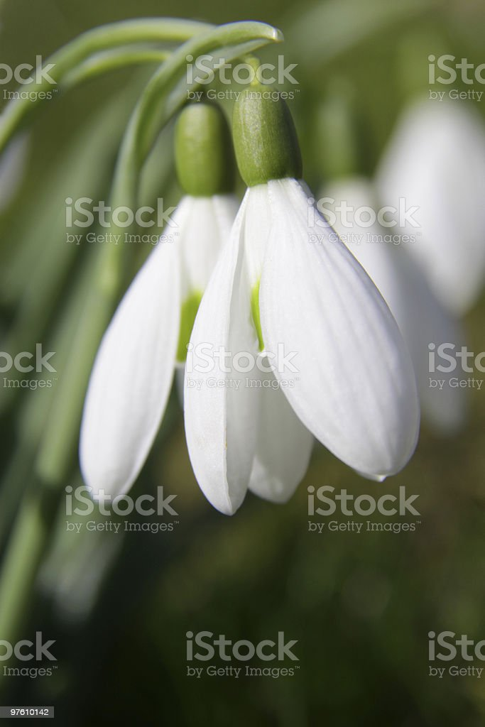 Snowdrop (Galanthus nivalis) royalty-free stock photo