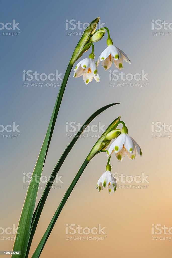 Snowdrop snowflake flowers on pure sky royalty-free stock photo