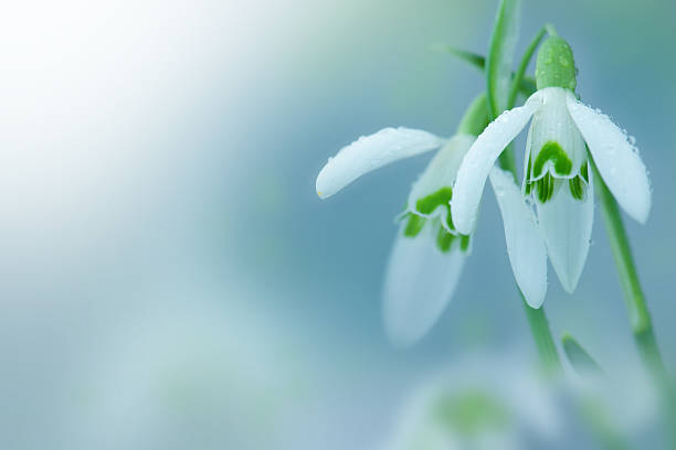 snowdrop- spring white flower with bright shiny sun. - snowdrops stock photos and pictures