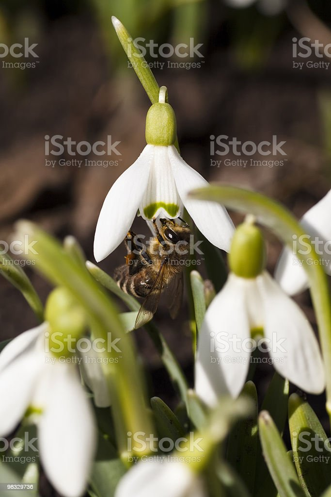 Snowdrop with honeybee royalty-free stock photo