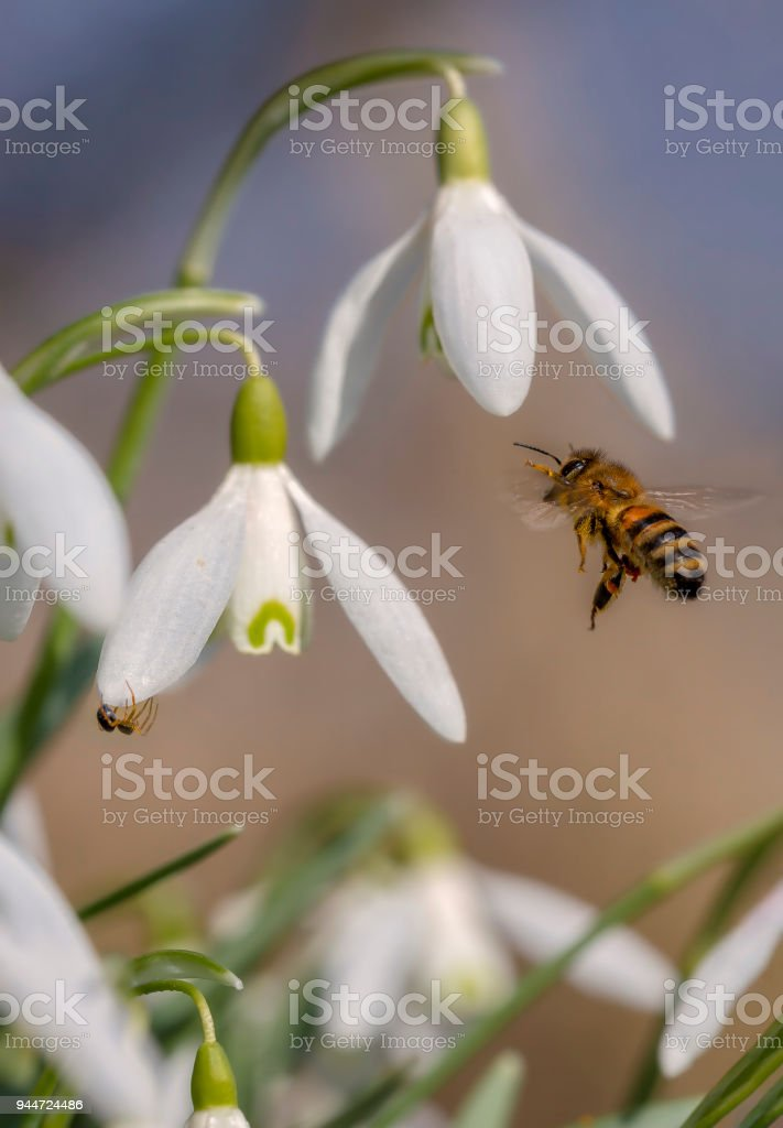 Snowdrops and bee stock photo