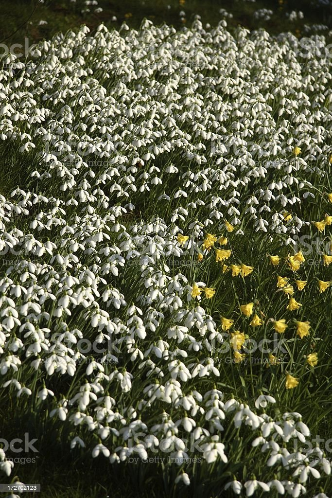 Snowdrops and daffodils stock photo