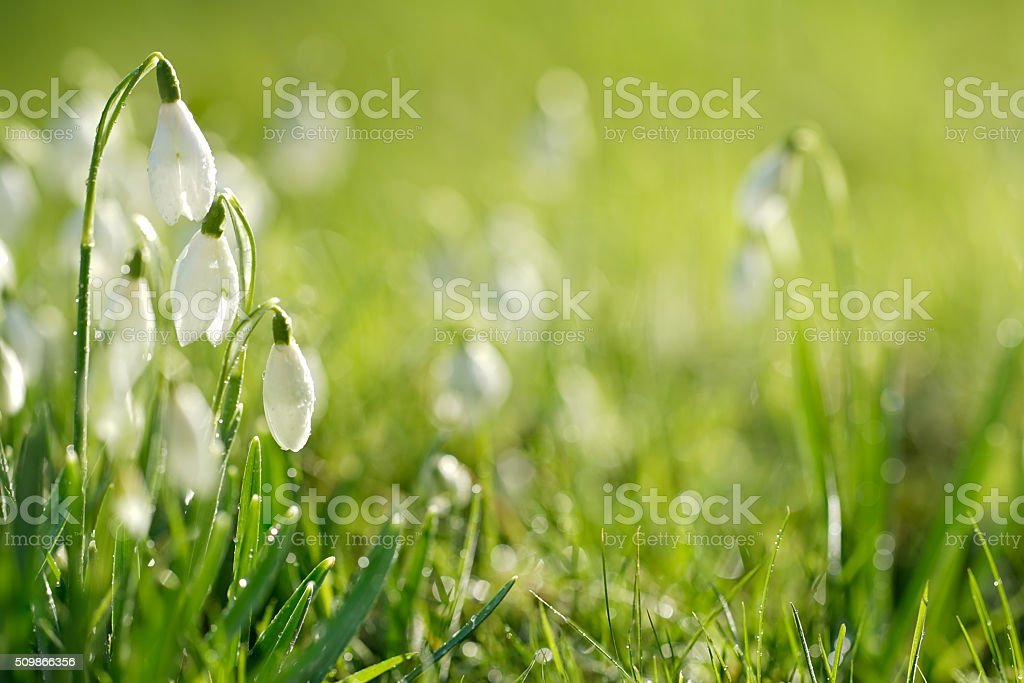 Snowdrops covered in morning dew lit by sunshine stock photo