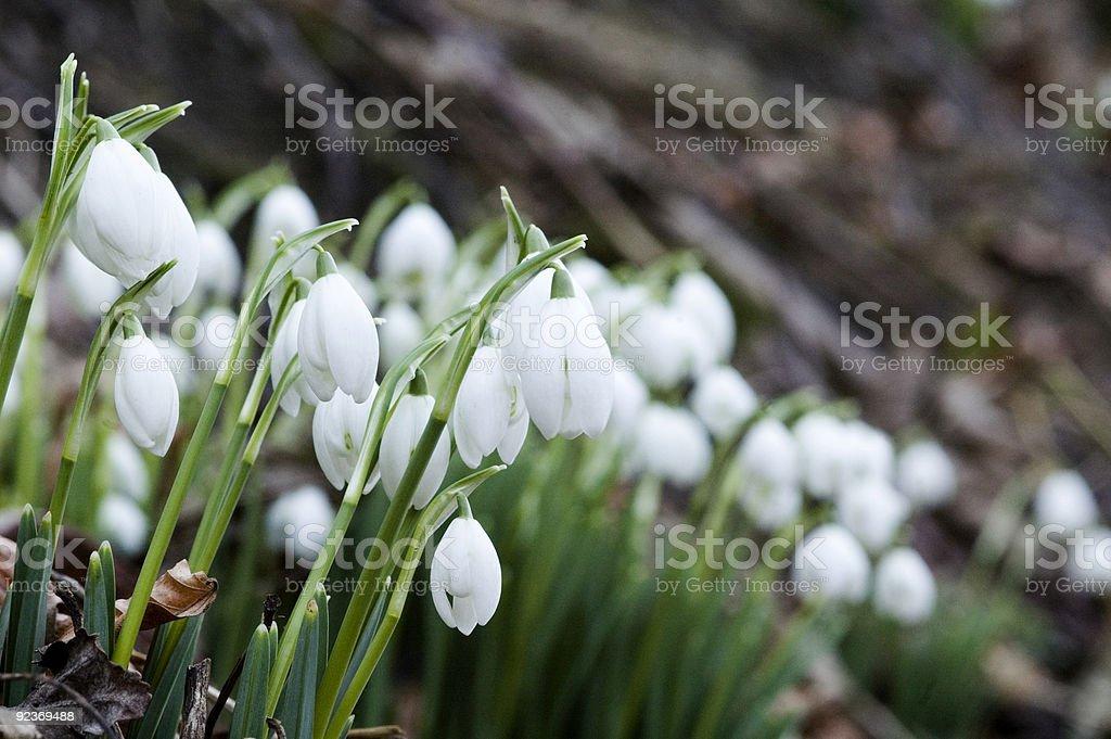 Snowdrops drift royalty-free stock photo