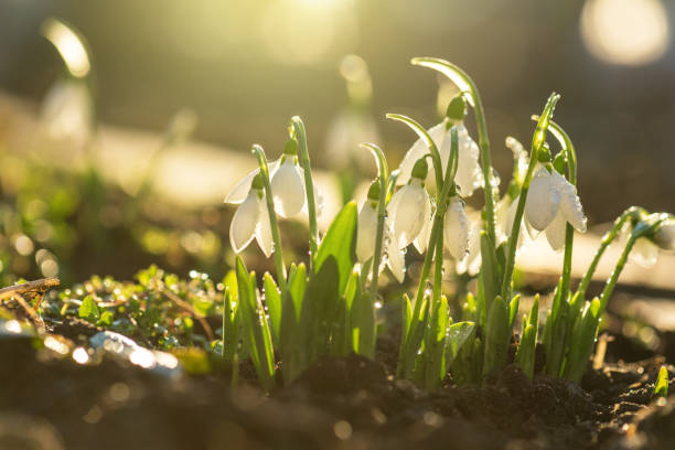 snowdrops first spring flowers. - snowdrop stock pictures, royalty-free photos & images