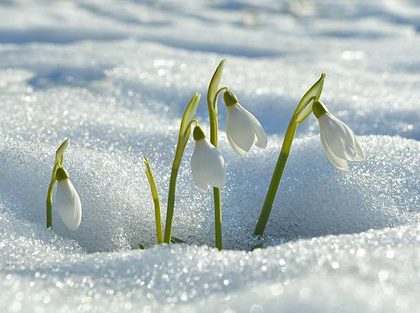 snowdrops flowering from the snow - snowdrops stock photos and pictures