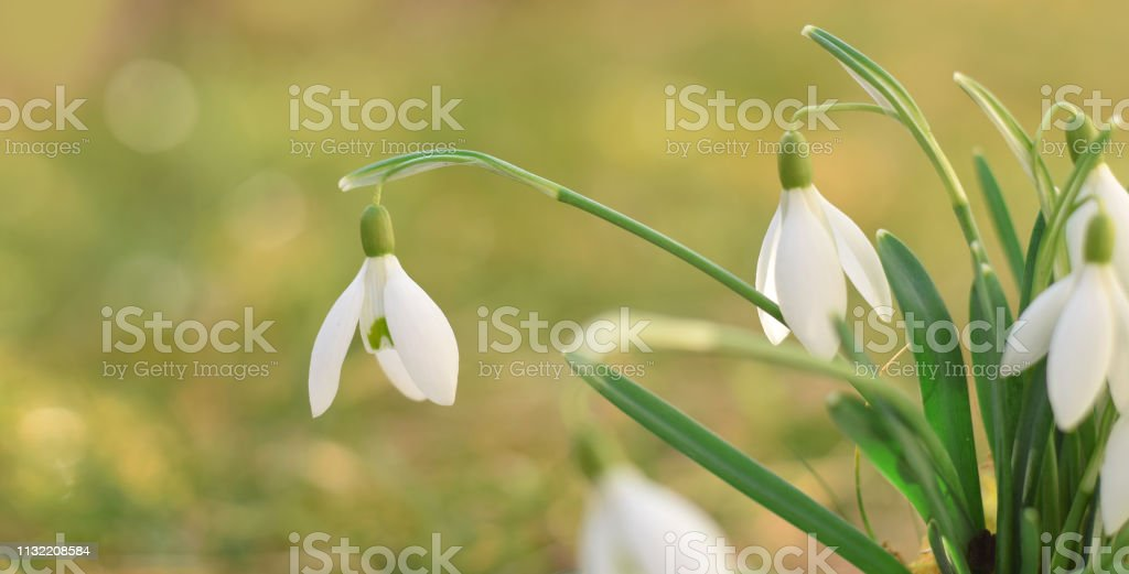 Snowdrops flowers closed up