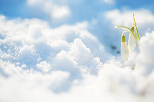 snowdrops [galanthus nivalis] in snow - snowdrops stock photos and pictures