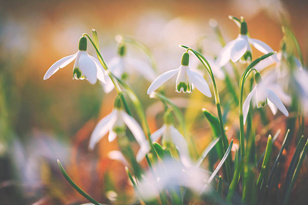 snowdrops [galanthus nivalis] - snowdrops stock photos and pictures