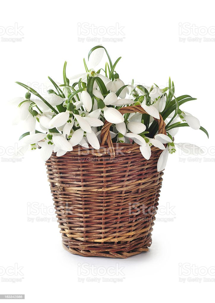 Snowdrops in a basket royalty-free stock photo