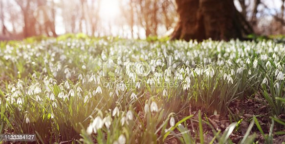 Snowdrops in forest morning sunlight Spring background