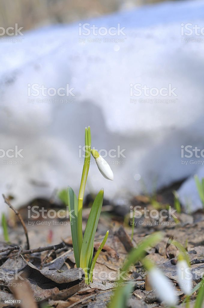 Snowdrops in Spring royalty-free stock photo