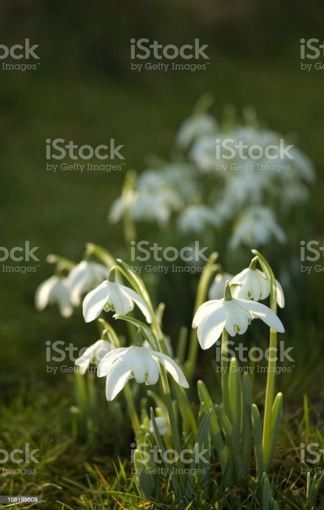 Snowdrops in Sunlight royalty-free stock photo