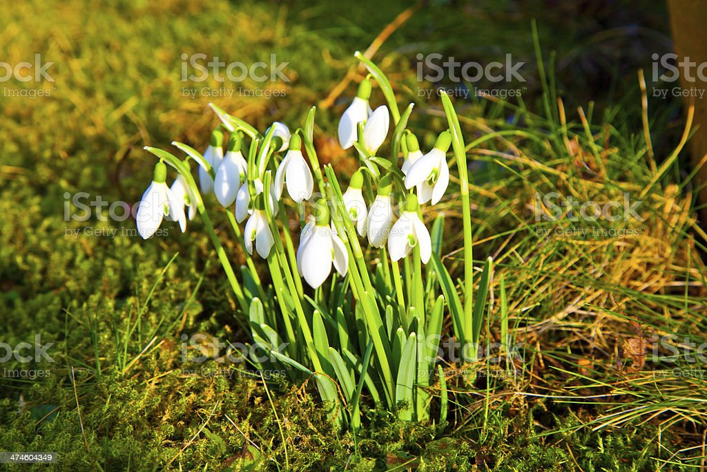 snowdrops in the grass royalty-free stock photo